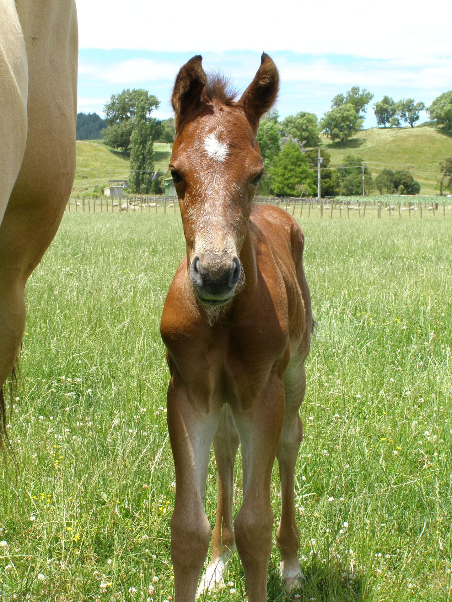 Bay Filly